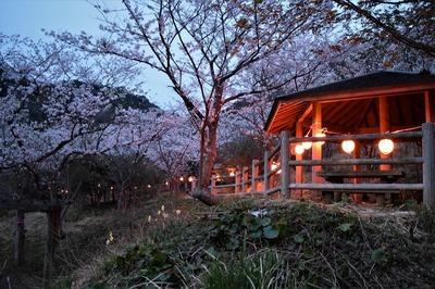 青海島さくらの里夜桜4.jpg