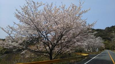 青海島さくらの里県道沿いの桜1.jpg