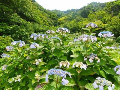青海島・紫陽花の沢2.jpg