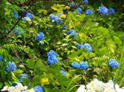 青海島・紫陽花の沢4.jpg