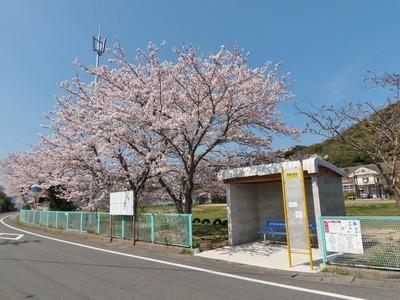 青海島小学校バス停と桜.jpg