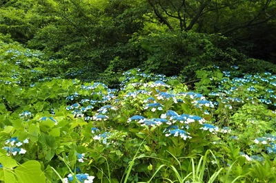 青海島紫陽花の沢2.jpg