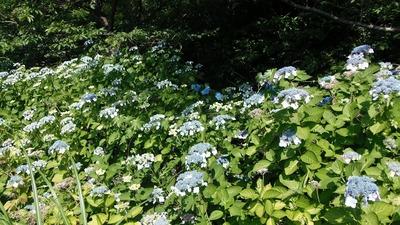 青海島紫陽花の沢3.jpg