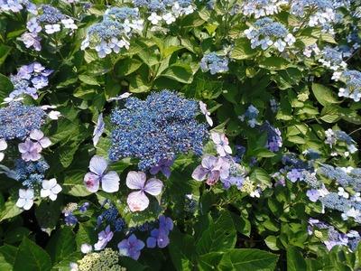 青海島紫陽花の沢5.jpg