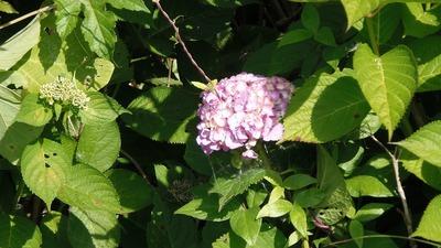 青海島紫陽花の沢6.jpg