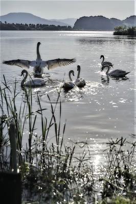 青海湖の白鳥2.jpg