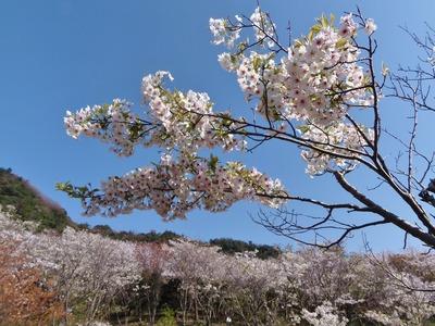 青空と桜.jpg