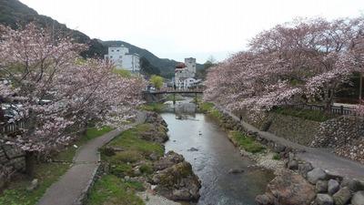 音信川と桜.jpg