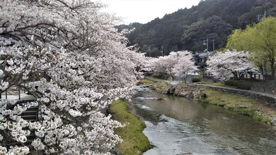 音信川沿いの満開の桜1.jpg