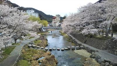 音信川沿いの満開の桜2.jpg