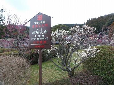 香山公園の梅の花.jpg