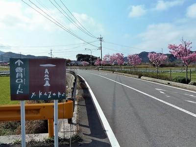 香月ロードの陽光桜1.jpg