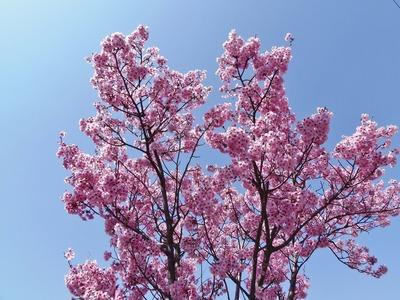 香月ロードの陽光桜3.jpg