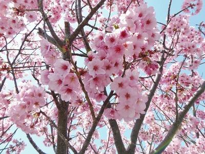 香月ロードの陽光桜4.jpg