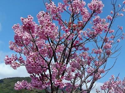 香月ロードの陽光桜5.jpg