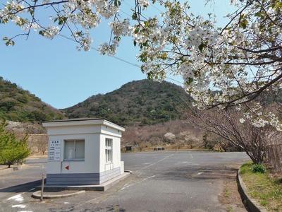 駐車場入口の桜1.jpg