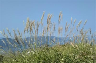 高山山頂のススキ.JPG