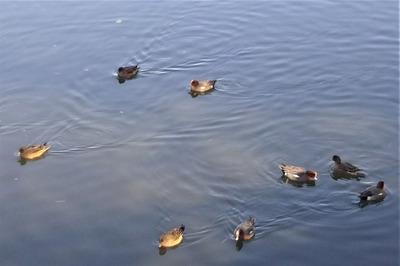 鴨の群れ.jpg