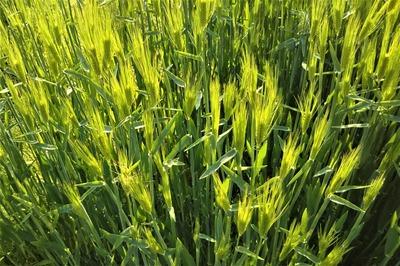 麦の穂1.jpg