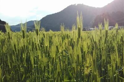 麦の穂2.jpg