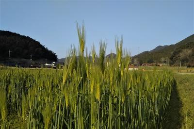 麦の穂3.jpg