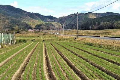 麦畑1.jpg