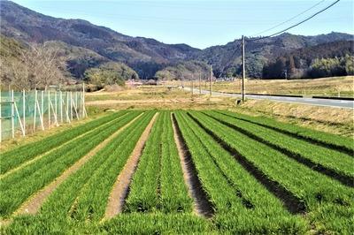 麦畑2.jpg