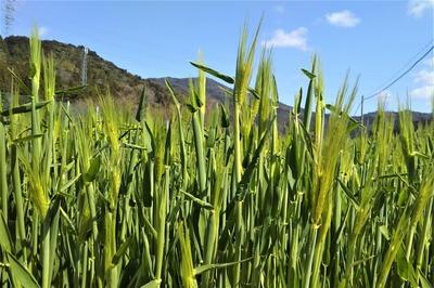麦畑3.jpg