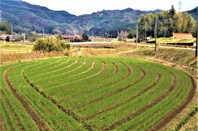 麦畑4.jpg