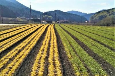 麦畑とソバ畑1.jpg