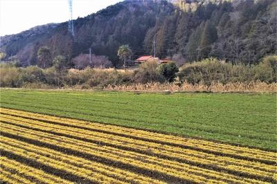 麦畑とソバ畑2.jpg