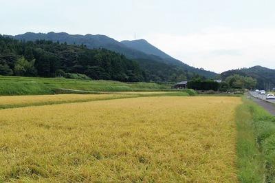 黄金色の田んぼ.jpg
