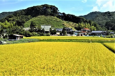 黄金色の田んぼ1.jpg