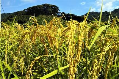黄金色の田んぼ2.jpg