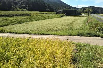 黄金色の田んぼ・そば畑.jpg