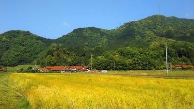 黄金色の麦畑1.jpg