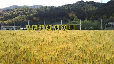 黄金色の麦畑2.jpg