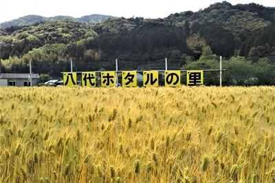 黄金色の麦畑20.5.10.JPG