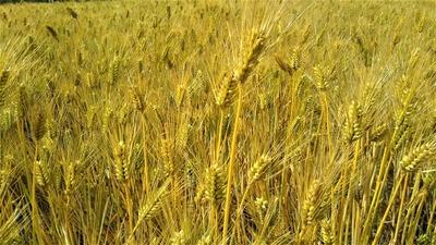 黄金色の麦畑3.jpg