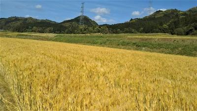 黄金色の麦畑4.jpg