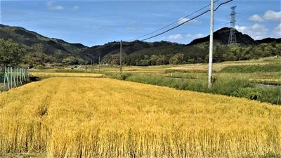 黄金色の麦畑5.jpg