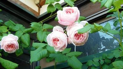 3対1の薔薇.jpg