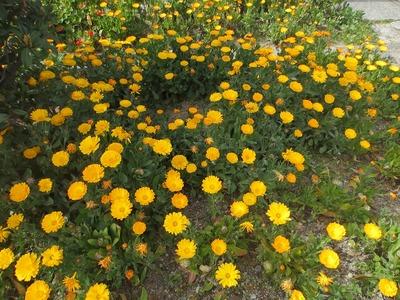 3班海岸花壇の花.jpg